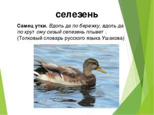 Самец утки. Вдоль да по бережку, вдоль да по крутому сизый селезень плывет. (