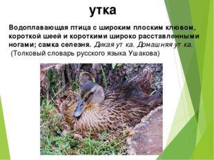 утка Водоплавающая птица с широким плоским клювом, короткой шеей и короткими