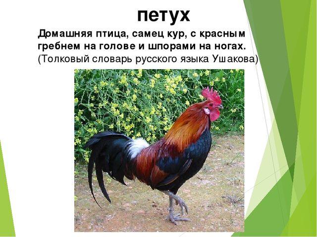 петух Домашняя птица, самец кур, с красным гребнем на голове и шпорами на ног...