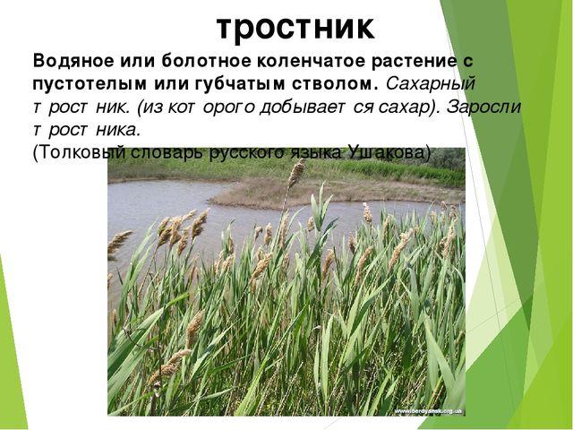 тростник Водяное или болотное коленчатое растение с пустотелым или губчатым с...