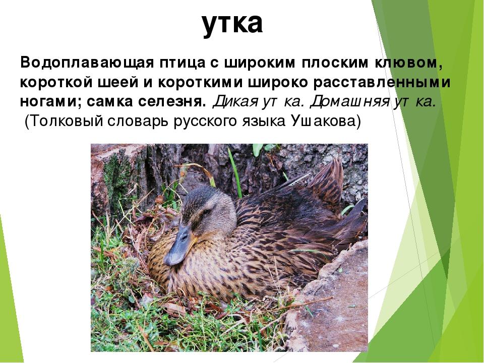 утка Водоплавающая птица с широким плоским клювом, короткой шеей и короткими...