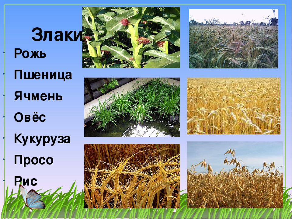 Зерновые растения фото с названиями картины повествуют