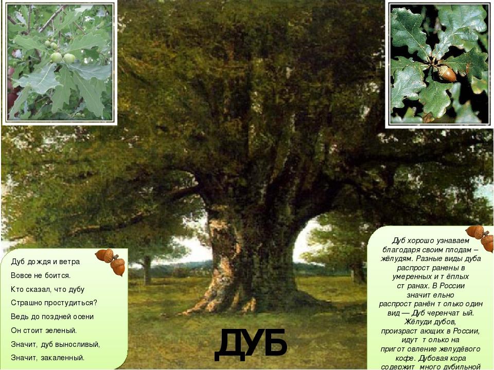 своего дуб дерево фото и описание важный параметр это