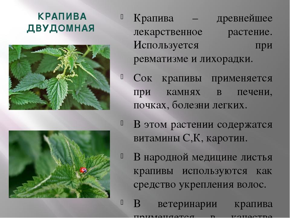 Реферат лекарственное растение крапива 6589