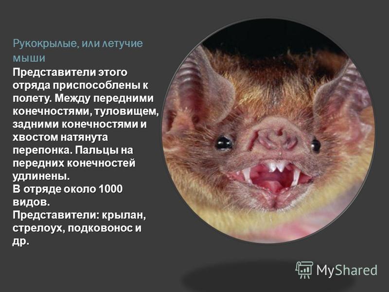 Рукокрылые или летучие мыши доклад 3344