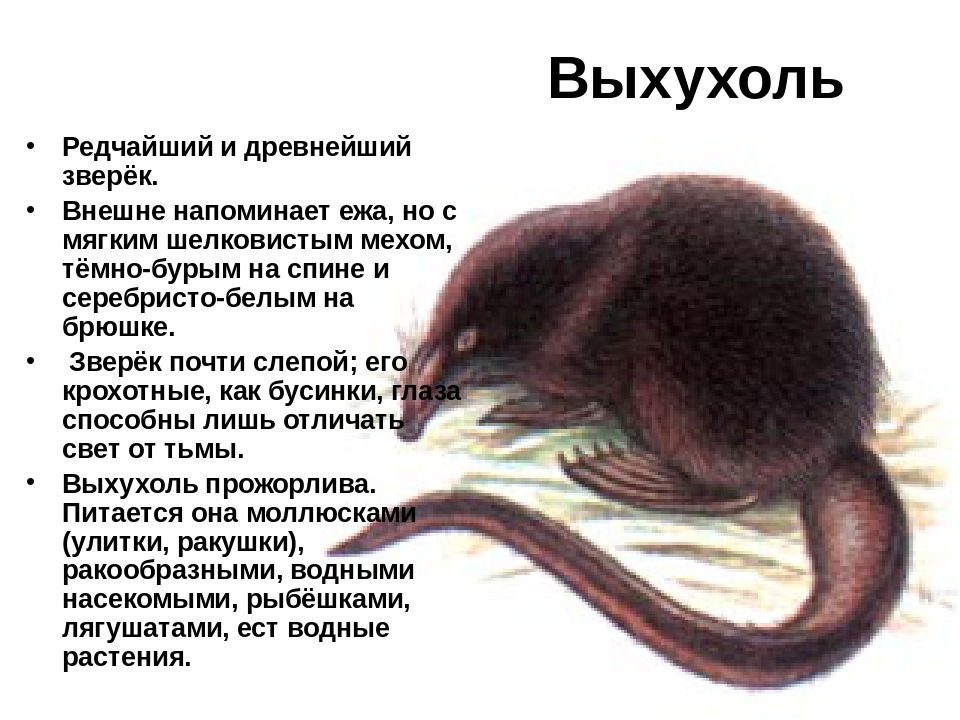 Тушканчик фото и описание касатка