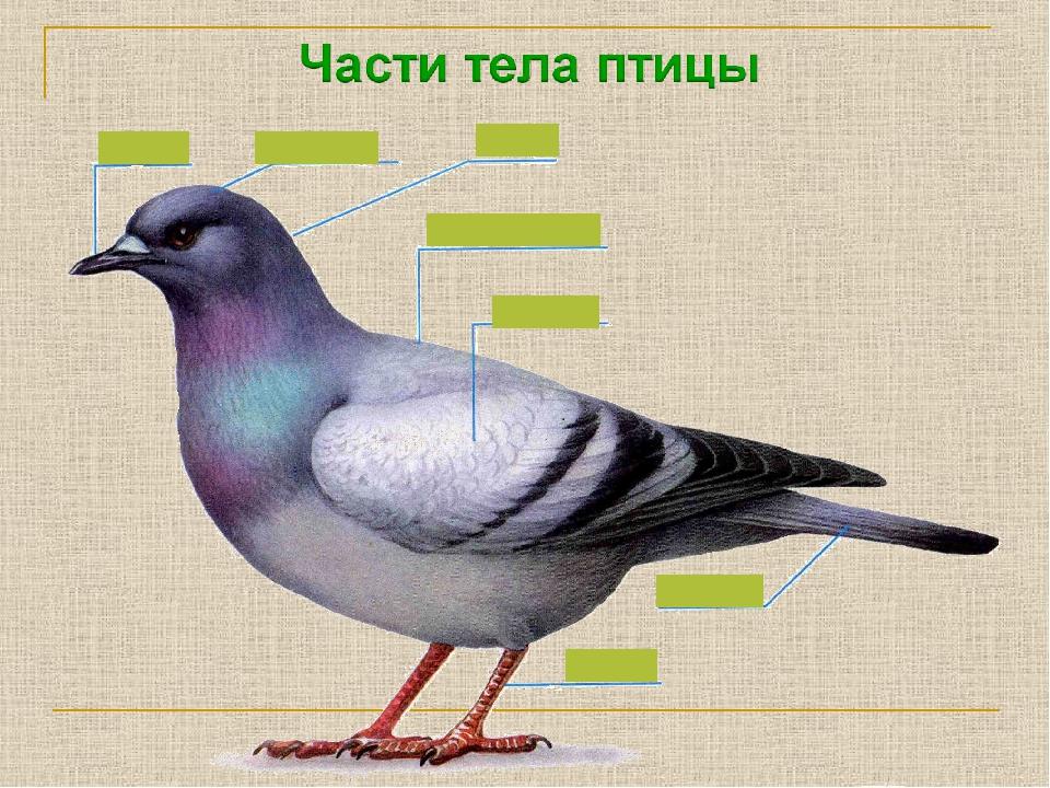Картинка птицы части тела
