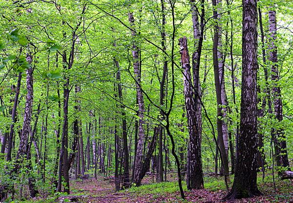 дает лиственный лес картинки для презентации новым годом, волшебством