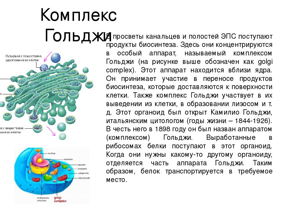 Комплекс Гольджи В просветы канальцев и полостей ЭПС поступают продукты биоси...