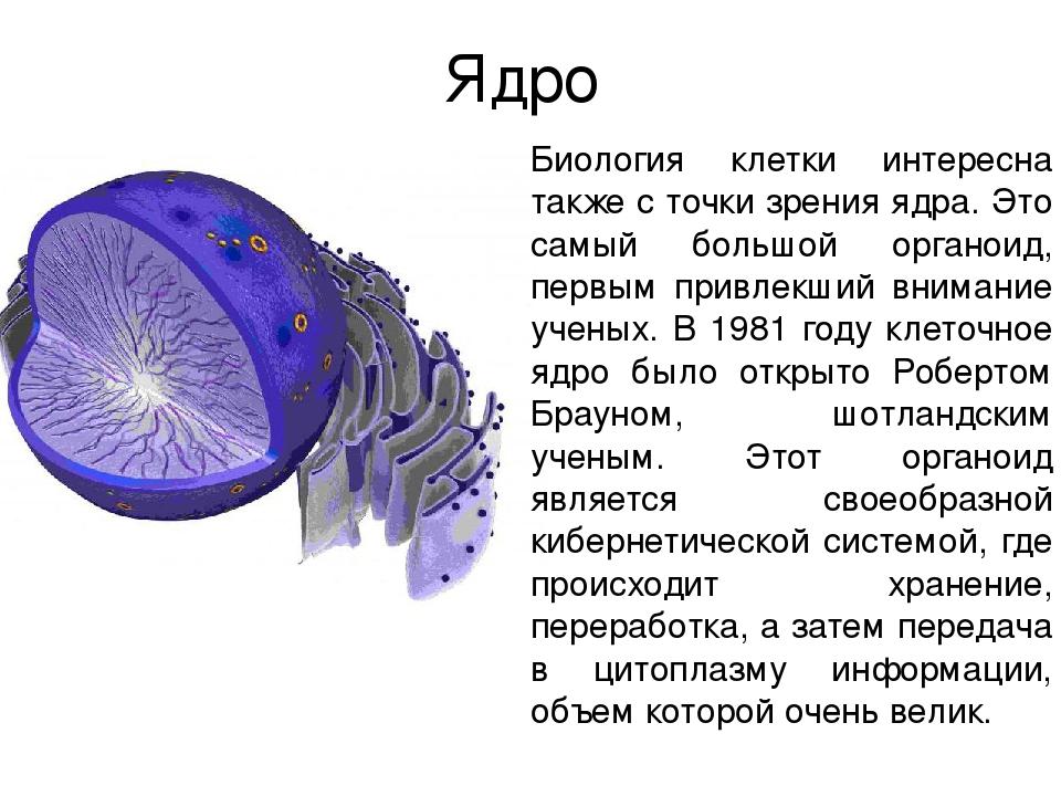 Ядро Биология клетки интересна также с точки зрения ядра. Это самый большой о...