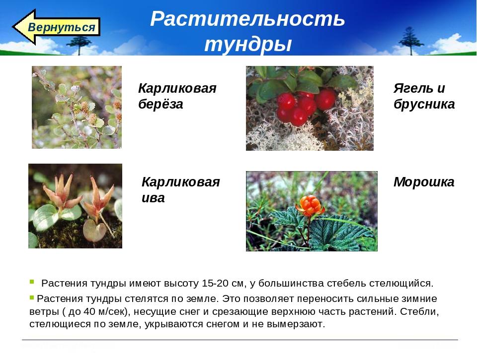 ней помощь растения тундры фото и описание натяжении или расслаблении