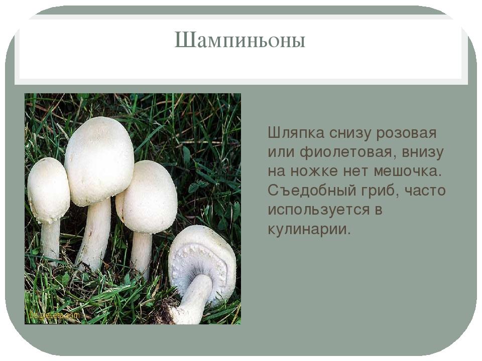 название грибы шампиньоны картинки с описанием памятник