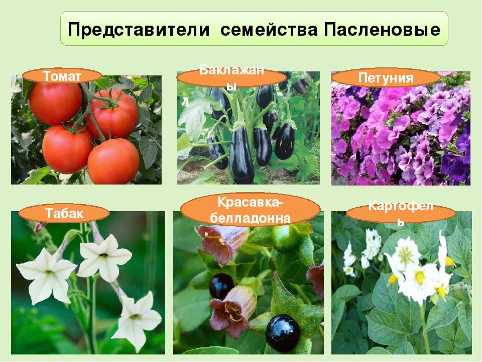 ответы эти картинки культурных растений пасленовых примере