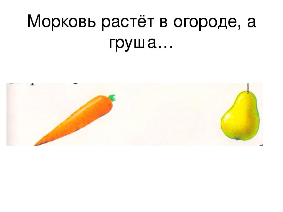 Морковь растёт в огороде, а груша…