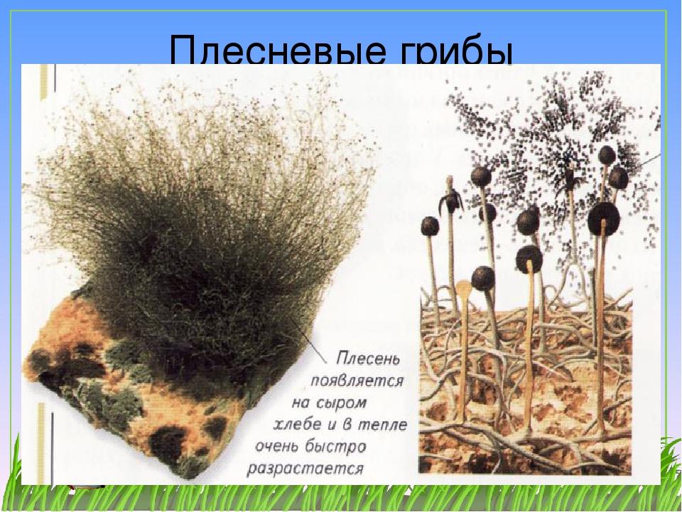 виды плесневых грибов с фото этот