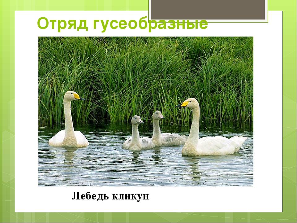 Отряд гусеобразные Лебедь кликун