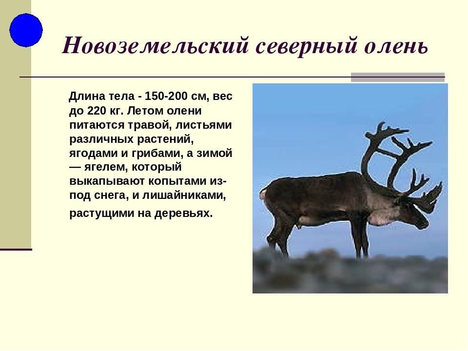 Северный олень из красной книги картинка