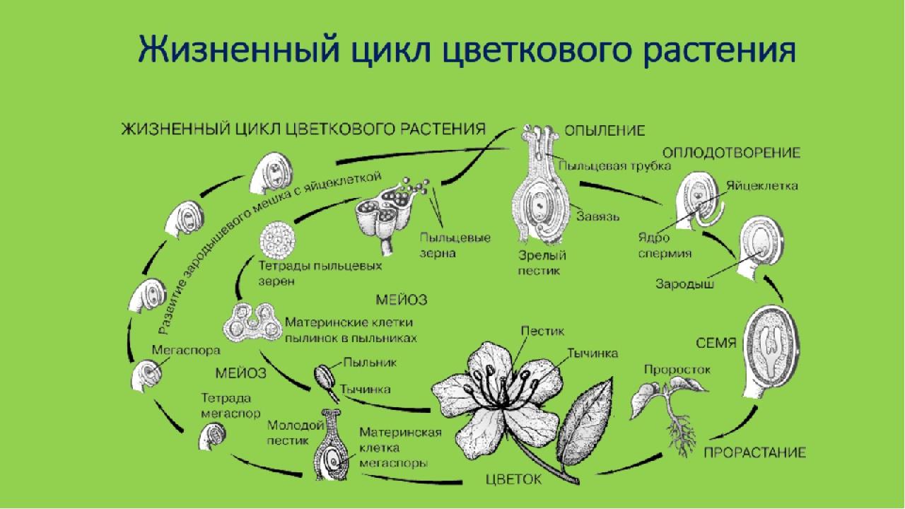 Жизненный цикл растений в картинках