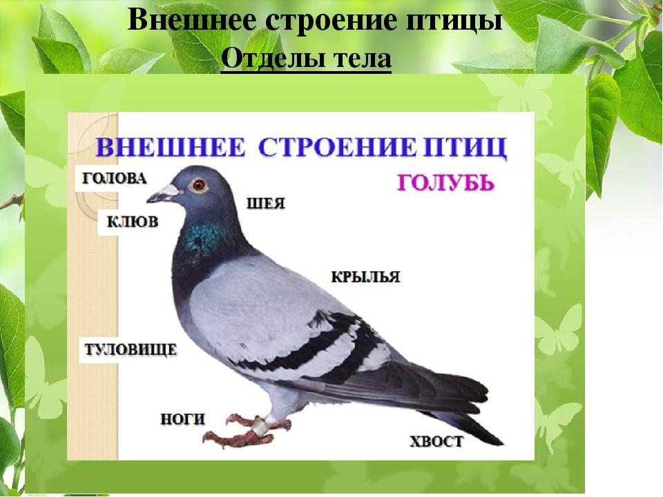 Отделы тела Внешнее строение птицы