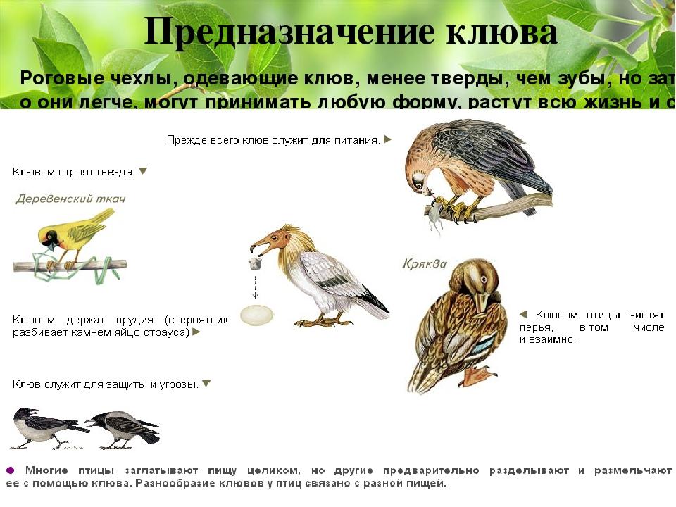 Предназначение клюва Роговые чехлы, одевающие клюв, менее тверды, чем зубы, н...