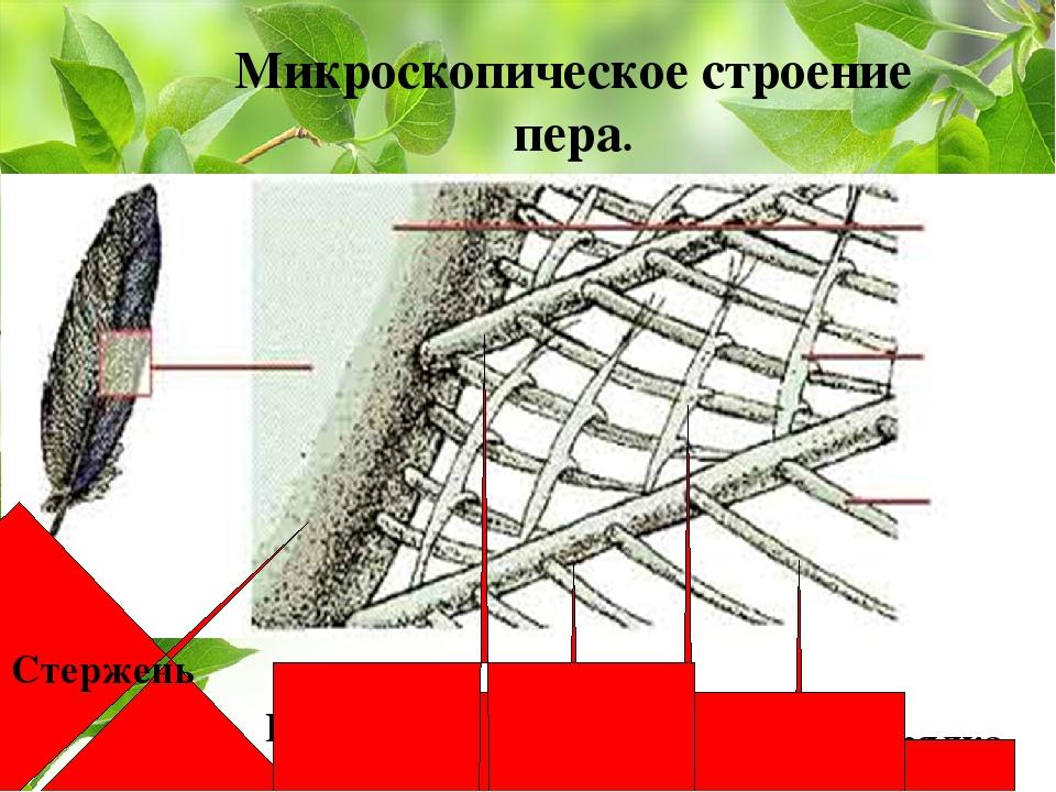 Стержень Бородки I порядка Бородки II порядка Микроскопическое строение пера...