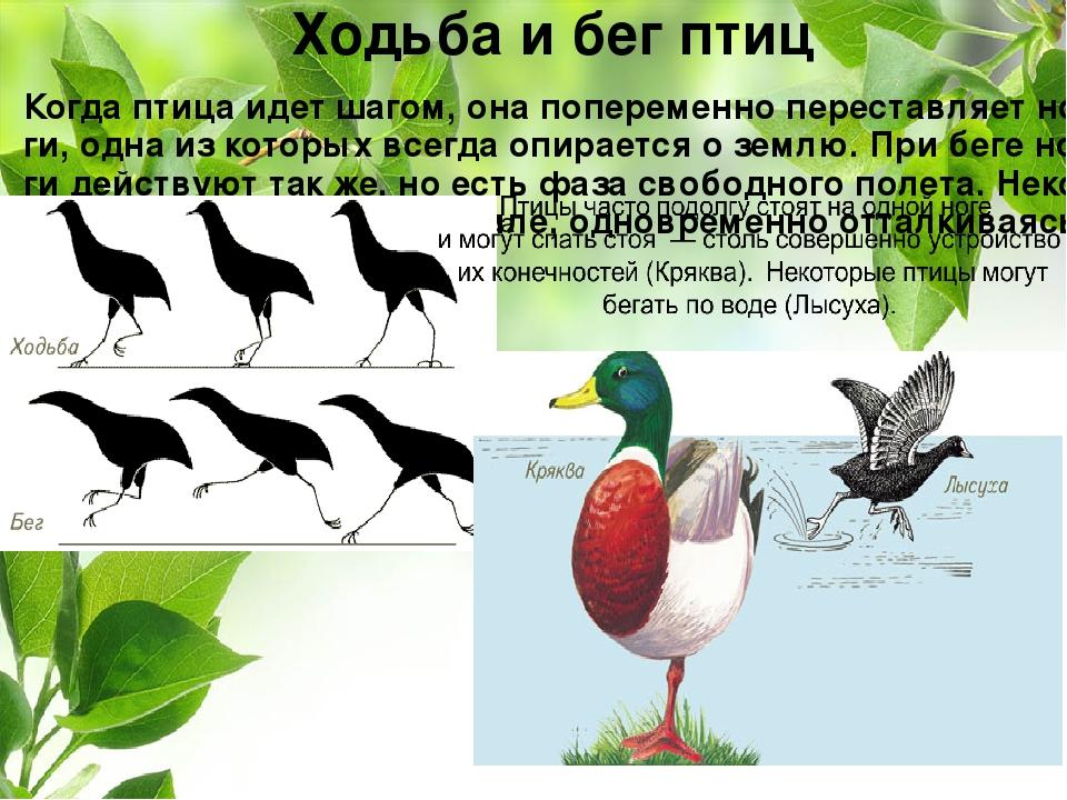 Ходьба и бег птиц Когда птица идет шагом, она попеременно переставляет ноги,...