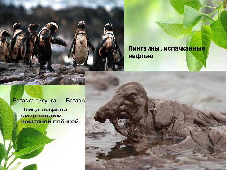 Пингвины, испачканные нефтью ВНЕШНЕЕ СТРОЕНИЕ ПТИЦ. СТРОЕНИЕ ПЕРА ПТИЦ