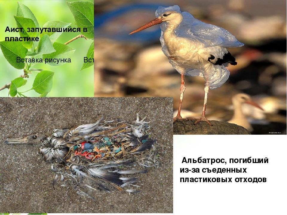 Альбатрос, погибший из-за съеденных пластиковых отходов ВНЕШНЕЕ СТРОЕНИЕ ПТИ...