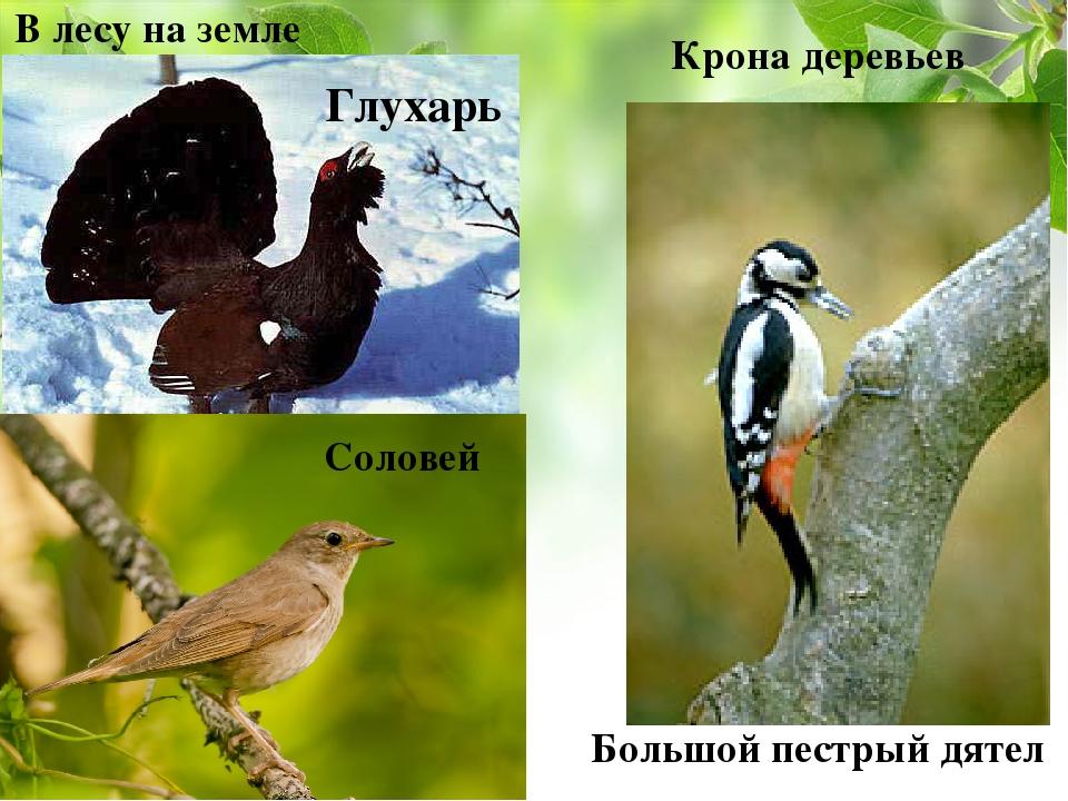 В лесу на земле Глухарь Крона деревьев Большой пестрый дятел Соловей