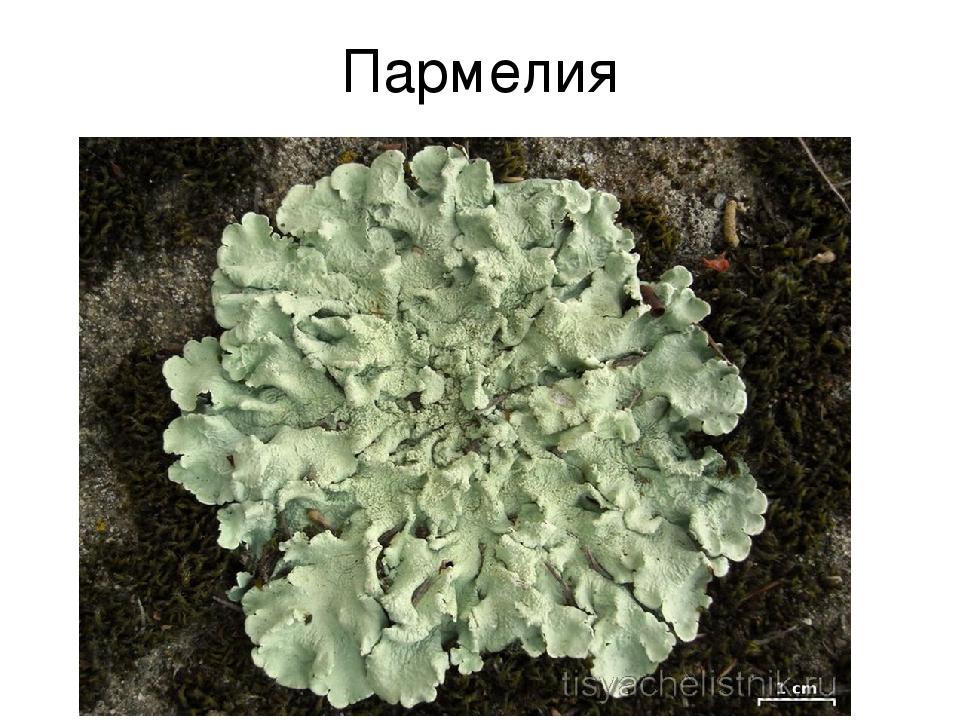 Пармелия