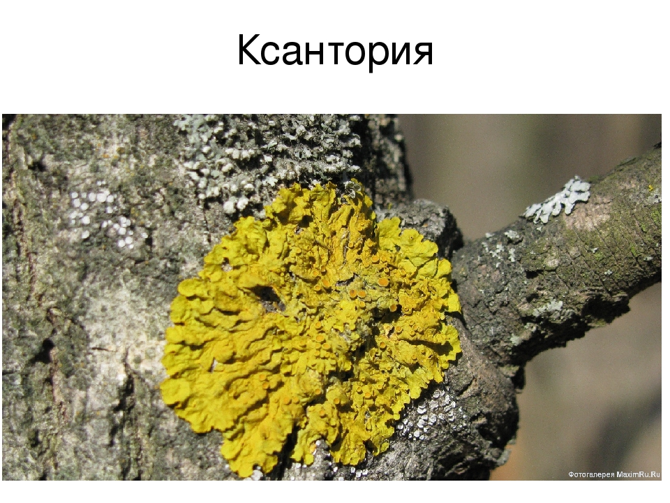 Ксантория