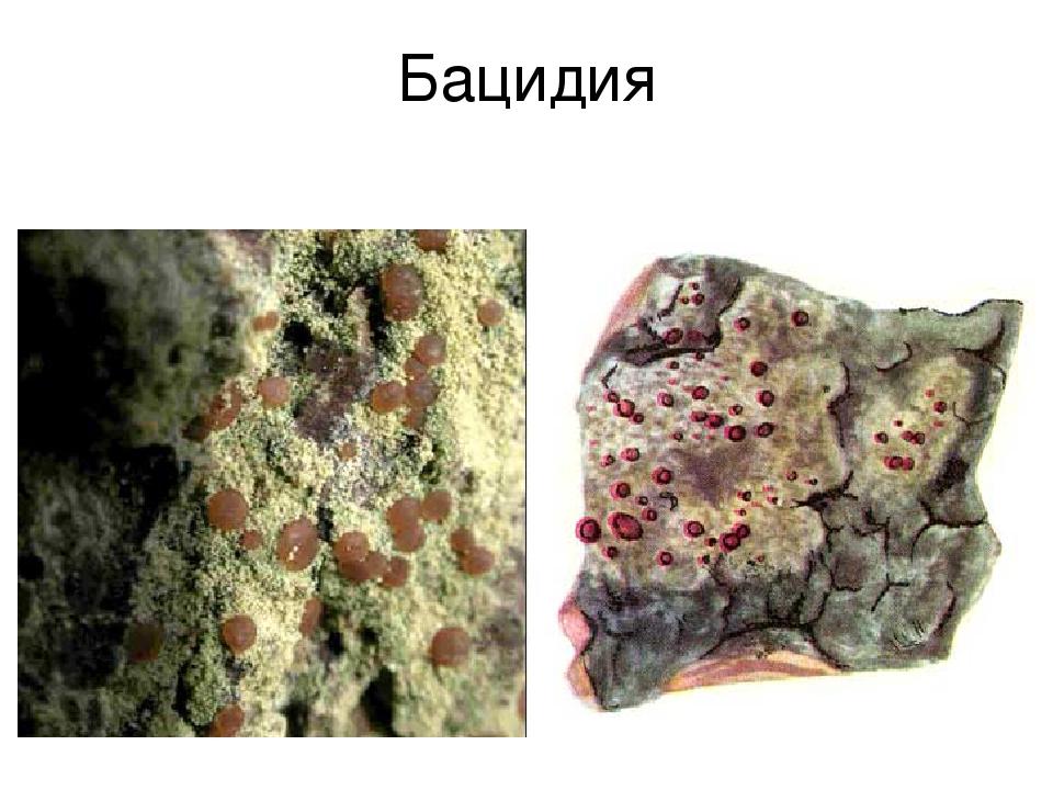 Бацидия