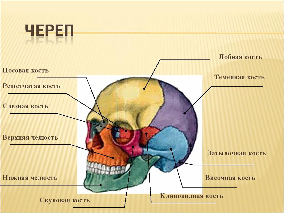Решетчатая кость Слезная кость Носовая кость Лобная кость Теменная кость Заты...
