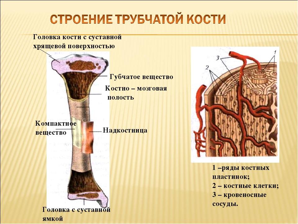 Головка кости с суставной хрящевой поверхностью Губчатое вещество Костно – мо...