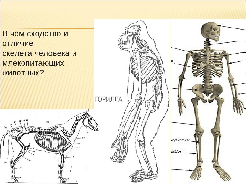 В чем сходство и отличие скелета человека и млекопитающих животных?