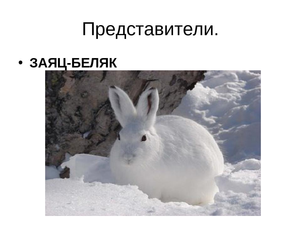 Представители. ЗАЯЦ-БЕЛЯК
