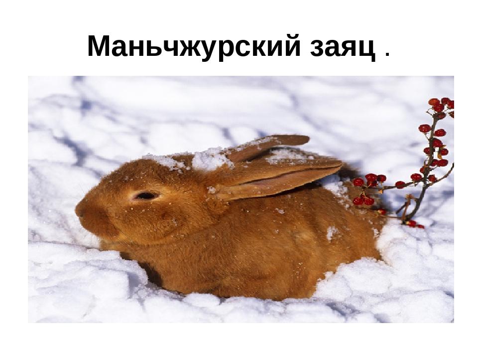 Маньчжурский заяц .