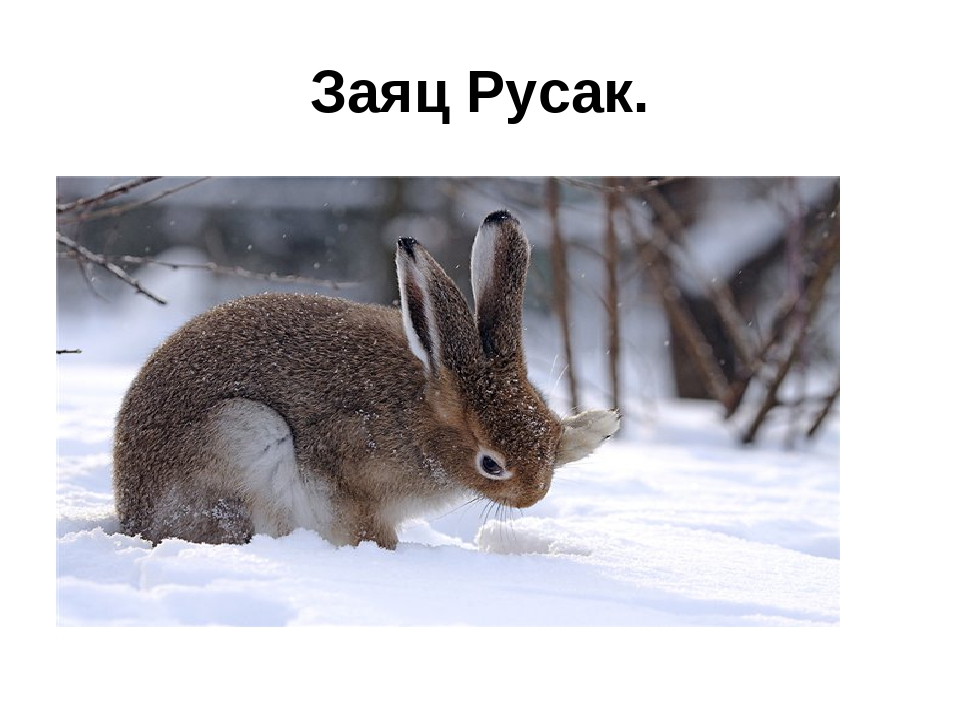 Заяц Русак.