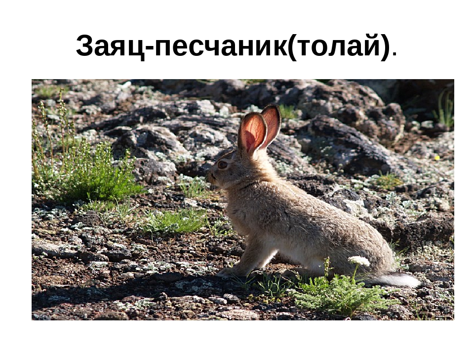 Заяц-песчаник(толай).