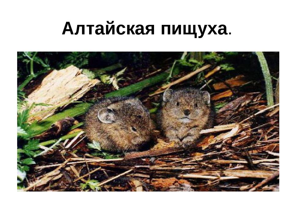 Алтайская пищуха.