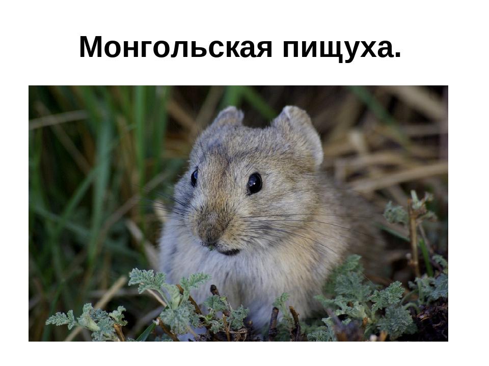 Монгольская пищуха.