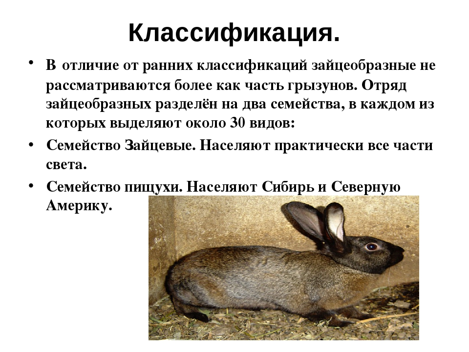 Классификация. Вотличие от ранних классификаций зайцеобразные не рассматрива...
