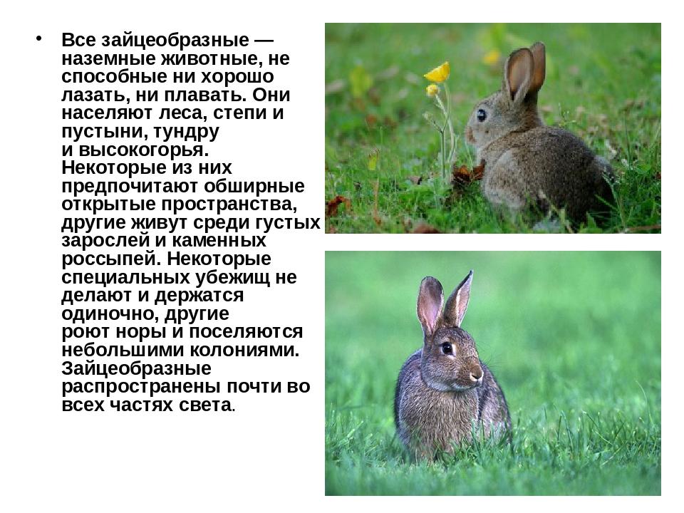 Все зайцеобразные— наземные животные, не способные ни хорошо лазать, ни плав...