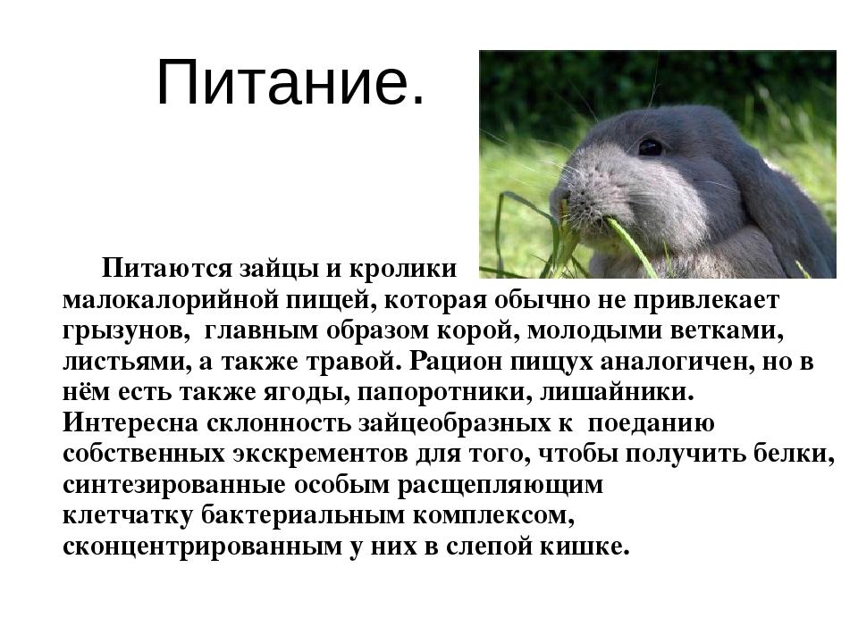 Питание. Питаются зайцы и кролики малокалорийной пищей, которая обычно не пр...
