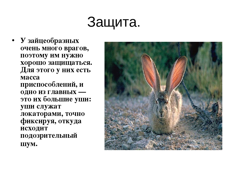 Защита. У зайцеобразных очень много врагов, поэтому им нужно хорошо защищатьс...