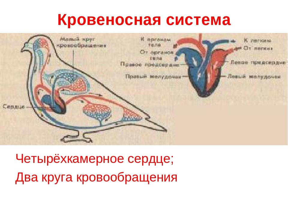 Кровеносная система Четырёхкамерное сердце; Два круга кровообращения