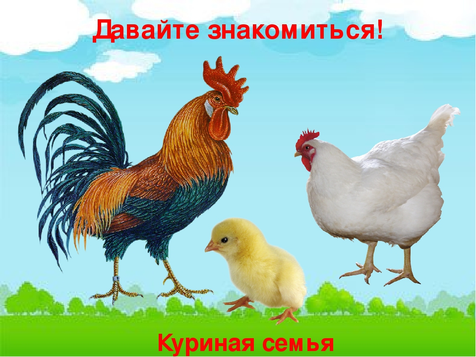 Картинка семья домашних птиц обе стороны