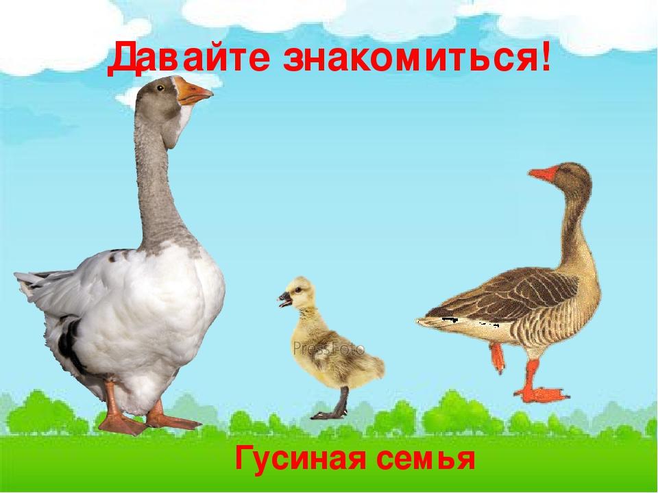 Картинка семья домашних птиц нашим