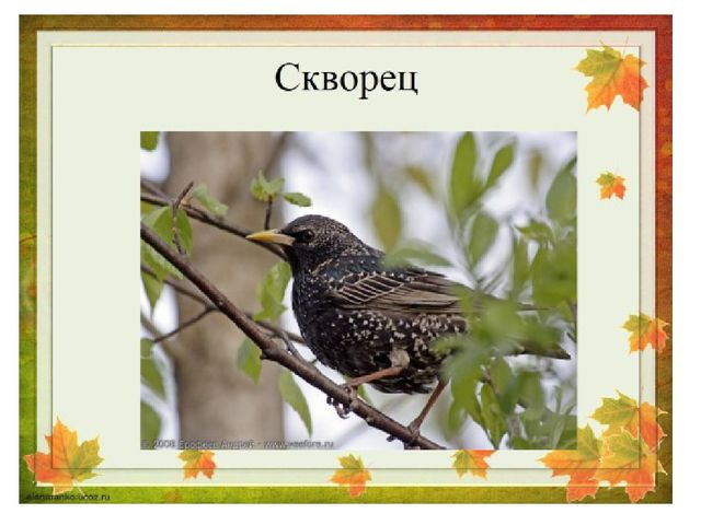 Эту птицу знает всякий: На шесте его дворец. Червяков птенцам таскает Да трещ...