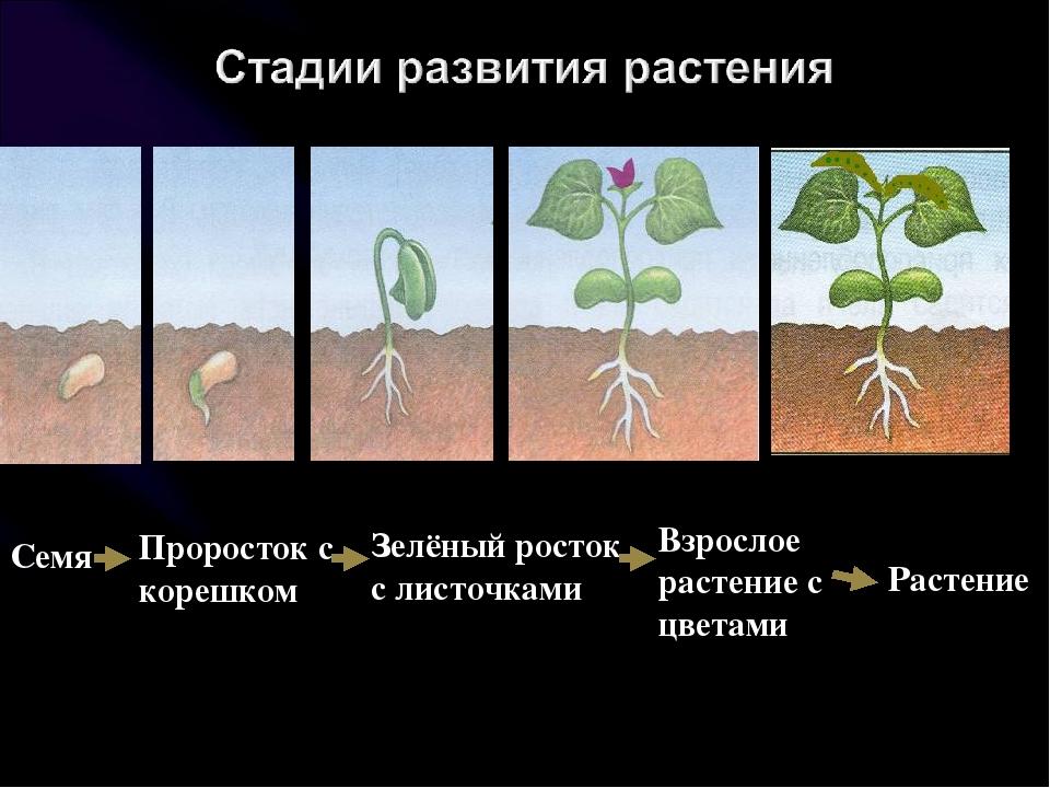 самая младшая рост семян картинки акцентирует внимание